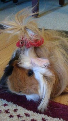 guinea pig♥* Vera is totally going to grow a pony!