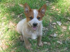 """I didn't realize that Australian Cattle Dogs (aka Queensland Heelers) also came in """"red"""" as well as blue.  Looking at this pic, I believe Dharma is actually part (full?) ACD, not Australian Shepherd."""
