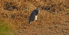 Came up upon this blue heron while walking around a dried-up Bullfrog Pond at Palmyra Nature Reserve in NJ. The bird kept me busy for a while.