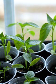Vensterbank tuinieren: haal het tuinieren tijdens deze wat saaie wintermaanden naar binnen. #kweken