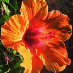 A vibrant summer-blooming orange hibiscus to start the week off in style! #hawaii #flower