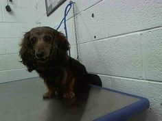 TOBY (A1636715) I am a male red Dachshund - Longhaired.  The shelter staff think I am about 10 years old.  I was found as a stray and I may be available for adoption on 08/23/2014 —  Miami Dade County Animal Services. https://www.facebook.com/urgentdogsofmiami/photos/pb.191859757515102.-2207520000.1408745854./825854324115639/?type=3&theater