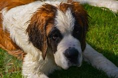 Dogs With Big Eyes, Big Dogs, Large Dogs, Cute Dogs, Dogs And Puppies, Chien Saint Bernard, St Bernard Puppy, Top 10 Dog Breeds, Large Dog Breeds