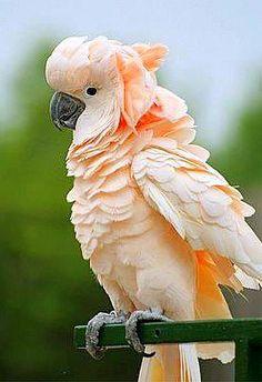 Salmon-crested Cockatoo (Cacatua moluccensis) also known as the Moluccan Cockatoo, is a cockatoo endemic… - Birds Pretty Birds, Beautiful Birds, Animals Beautiful, Animals And Pets, Baby Animals, Cute Animals, Exotic Birds, Colorful Birds, Audubon Birds