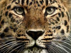 leopards gegen TIGERS - PicArena - BildKampf - leopards pictures, TIGERS pictures, leopards videos, TIGERS videos, leopards phot