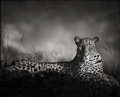 49f61f6a56f Nick Brandt · Leopard Staring · 2010Print  Archival Pigment Print Format   56 x 70