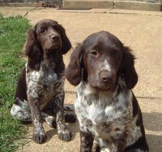 Small Munsterlander - looks like a spaniel AND a german short hair. Looks just like Ruger Puppies And Kitties, Baby Puppies, Spaniel Puppies, Doggies, Weimaraner, Collie, Animals And Pets, Cute Animals, Rare Dogs