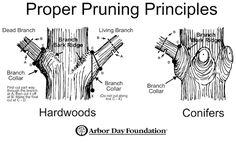 Image result for bonsai pruning diagrams