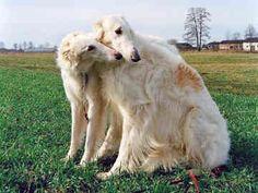Borzoi Dog