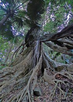 strangler #fig #Ficus macrophylla by Tony Markham.