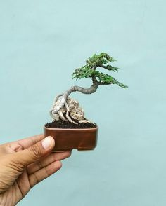 Jade Bonsai, Bonsai Art, Bonsai Plants, Bonsai Garden, Indoor Bonsai Tree, Mini Bonsai, Minis, Bonsai Forest, Inside Plants