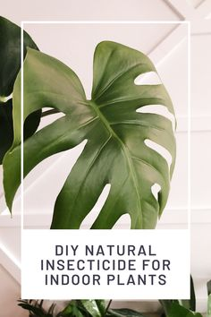 Use this easy Natural Insecticide recipe to removes bugs and pests from your indoor plants | DIY Insecticide | Pest Removal | Bugs | Plant Care | Indoor Plant Health | Plant Tips | Infestation | Green Plants, Air Plants, Indoor Plants, Get Rid Of Spiders, Natural Insecticide, Air Cleaning Plants, Plant Health, Beneficial Insects, Garden Pests