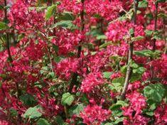 Blutjohannisbeere 'Atrorubens' - Ribes sanguineum 'Atrorubens'