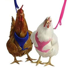 Putting On The Harness | Train A Chicken To Use A Harness | Homesteading Guide