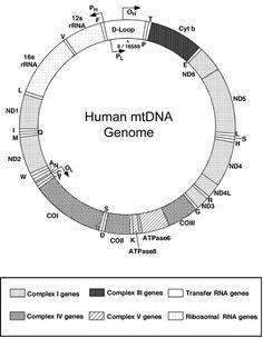Structure of human mtDNA genome Genetic Variation, Molecular Biology, Genetics, Chart