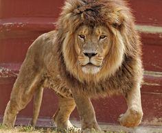 Lion King by Kris Kowalewski on 500px