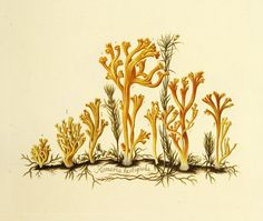 Meadow Coral (Clavulinopsis corniculata). Image is under CC BY-NC-SA of Natural History Museum of Denmark (http://1url.cz/72GP).
