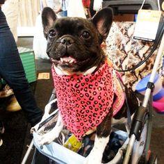 A Antônia no maior estilo @frenchantonia #patudos #cachorro #pets #dog #frenchbulldog