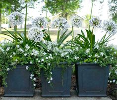 'Queen Mum' Agapanthus under planted with Angelina sedum, and Trailing Rosemary. Outdoor Flowers, Outdoor Plants, Outdoor Gardens, Potted Plants Patio, Container Gardening Vegetables, Container Plants, Succulent Containers, Container Flowers, Vegetable Gardening