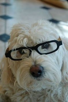 They Are Smarter Than Most Dogs   21 Reasons Labradoodles Are Wonderful