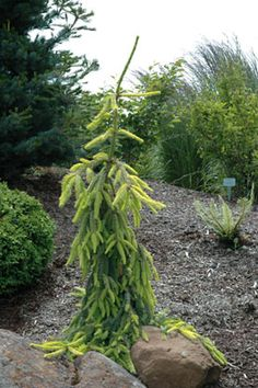 Gold Drift Weeping Norway Spruce