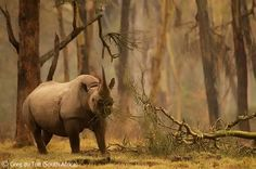 Golden forest rhino - Greg du Toit - Wildlife Photographer of the Year 2010 : Gerald Durrell Award for Endangered Species - Highly commended