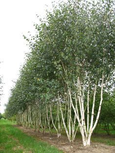 betula jacquemontii multi stem - Google Search