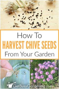 If you want to stop getting so many volunteer chives, and start harnessing all that seed power, then you need to learn how to gather them. Find out everything you need to know about when and how to harvest chive seeds so that they can be stored for future planting. Learn how to separate the chaff, dry, and prepare them for storage so that they are fresh and viable for the next growing season. Find all my best tips on how to easily collect and save chive seeds (garlic or onion).