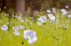 Pestovanie ľanu je môj splnený sen Dandelion, Flowers, Plants, Aromatherapy, Dandelions, Plant, Taraxacum Officinale, Royal Icing Flowers, Flower