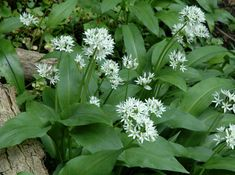 Shade plant. Allium Ursinum (Ramsløk in norwegian) A herb with garlic-like taste. Green foliage and small white flowers. Good for food, and as a medicinal herb.