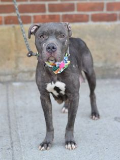 SAFE 5-9-2015 --- RETURNED 05/05/15 --- SAFE 5-3-2015 --- Brooklyn Center  MUSHU - A1030343  UNALTERED FEMALE, GRAY, AM PIT BULL TER MIX, 2 yrs STRAY - STRAY WAIT, NO HOLD Reason STRAY  Intake condition EXAM REQ Intake Date 03/14/2015,  Main Thread: https://www.facebook.com/photo.php?fbid=978557275490485