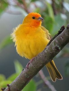 Gewone Saffraangors -Saffron Finch (Sicalis flaveola)