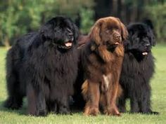 newfoundland-dog-1} who couldn't love these cute faces.