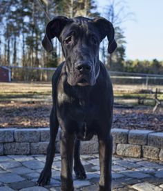 """10 Large Dog Breeds That Are Gentle: Great Dane """"Also known as the """"Apollo of Dogs,"""" the Great Dane has a commanding presence. Despite its massive size, this breed is gentle, playful and makes a great family pet. A Dane with a more spirited personality may be difficult to control for small children, but that's nothing a little training can't fix."""""""