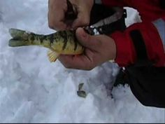 HOW TO CLEAN A PERCH IN 10 SECONDS!!!!!  INCREDIBLE VIDEO!!!!