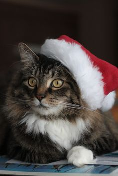 The 10 Cutest Christmas Cats EVER! | Cat, Animal and Xmas