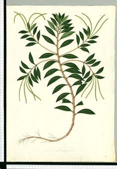 Free for personal use Fern Botanical Drawing of your choice Vintage Botanical Prints, Botanical Drawings, Botanical Art, Botanical Illustration, Illustration Botanique, Science Illustration, Vintage Drawing, Floral Illustrations, Pictures To Draw