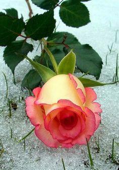 Unidentified rose .