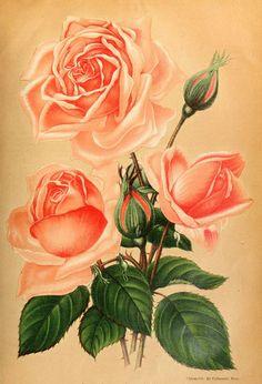 Rose Otto von Bismarck | Flickr - Photo Sharing!