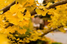 I love Ginkgo leaves Urban Landscape, Landscape Design, Ginko Tree, Shades Of Yellow, Color Of Life, Four Seasons, Wordpress, Leaves, Draw