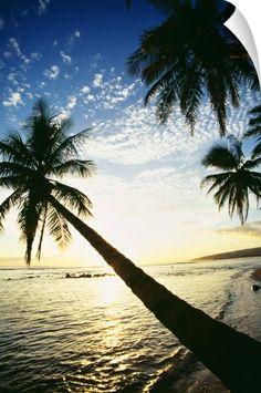 Hawaii, Kauai, Waimea, Tall Palm Over Ocean At Sunset With Bright Golden Reflections