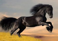 Cute and amazing black horse