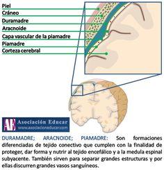 Infografía Neurociencias: Duramadre; Aracnoide; Piamadre. | Asociación Educar