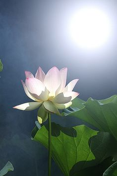 Lovely Lotus Flower Photo