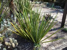 Hesperaloe Funifera, commonly called New Mexico False Yucca,is a dramatic, architectural yucca-like plant, which looks beautiful with other agaves, aloes and yuccas. It is both heat-tolerant and drought-tolerant. Photo: www.envirocontrol-llc.com