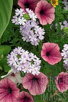 Petunias and Verbena