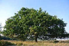 "an oak tree in the National Park ""de Loonse en Drunense Duinen"", Holland"
