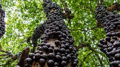 The Jabuticaba tree native to Brazil  Its fruits grow directly from the trunk as is the case for cocoa  #biology #images #plants #cocoa #tree