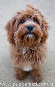 Spoodle, Cockerpoo, Cockapoo, Oodle, Poodle Hybrid, Poodle Mix, Doodle, Dog, Puppy pinned by myoodle.com
