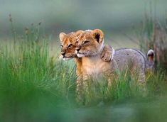 Lion Cubs Just Chilling
